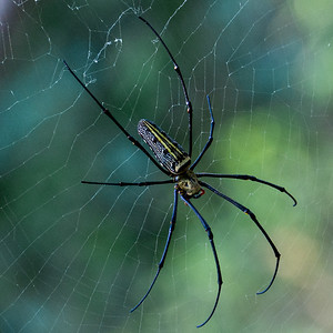 Golden Orb Weavers are one of the largest web spinning spiders in the world reaching body lengths to 5 inches (12.5 cm).  This one at Kuang Si wasn't quite that large but it's web was gigantic.