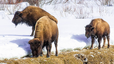 Bison foraging along the edge of the snow in Yellowstone National Park.