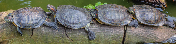 Some Red Eared Sliders enjoying a bit of sun on the log in Hong Kong park.
