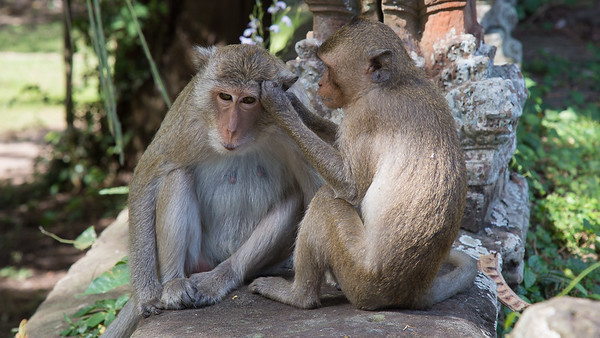 Macaque monkeys grooming one another at Angkor Watt, Cambodia.