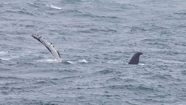 A humpback wale displaying a pectoral fin and a portion of it's fluke as it swims by the Silver Explorer in the South Georgia Islands.