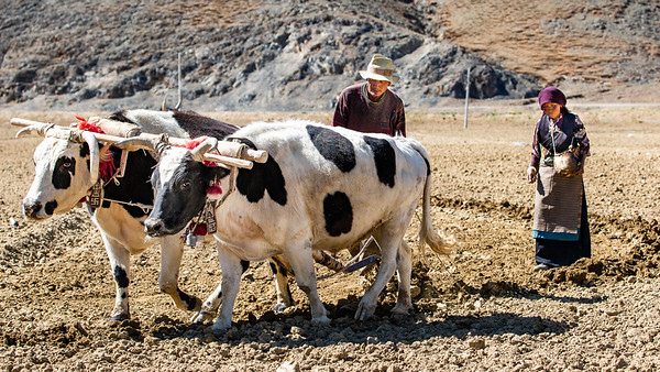 Oxen work a farmers plow in Tibet, China.