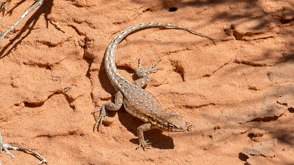 A Long-tailed Leopard Lizard capturing the winters warmth of the sun in Valley of Fire State Park, Nevada.