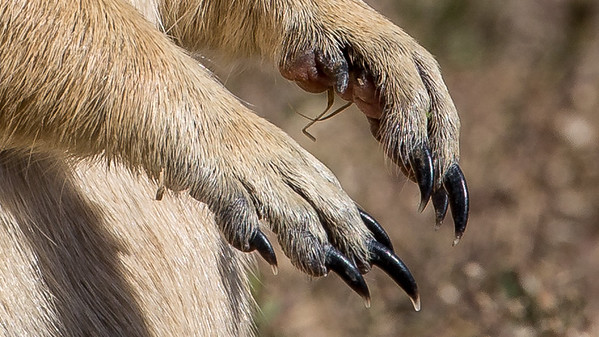 These claws were made for digging.  A prairie dogs displays it's front claws at Devils Tower National Monument, Wyoming.