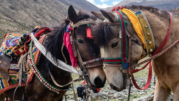 Two loving pony's taking a rest during their work day in Tibet, China.