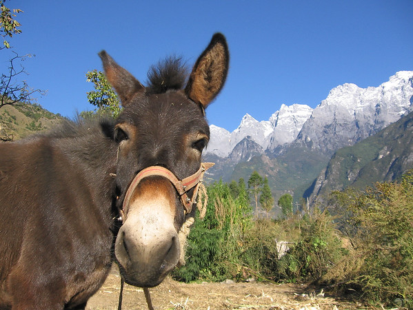 A burro guards the pathway to Tiger Leaping  Gorge, China.