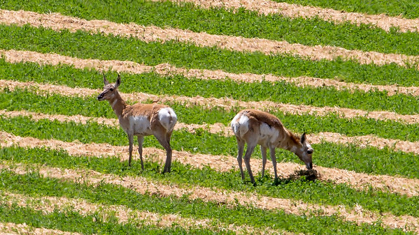 Pronghorn grazing on a freshly mowed field of alfalfa in southern Idaho.