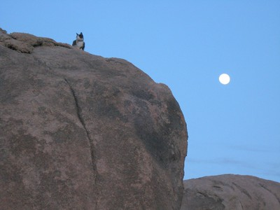 Mini the Kitty keeping watch during a moon rise in the Alabama Hills, California
