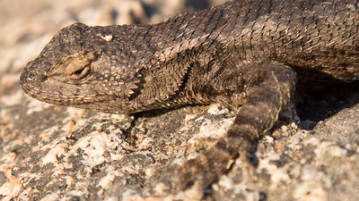 Great Basin Fence Lizard, Rabe Meadows, Stateline, NV.