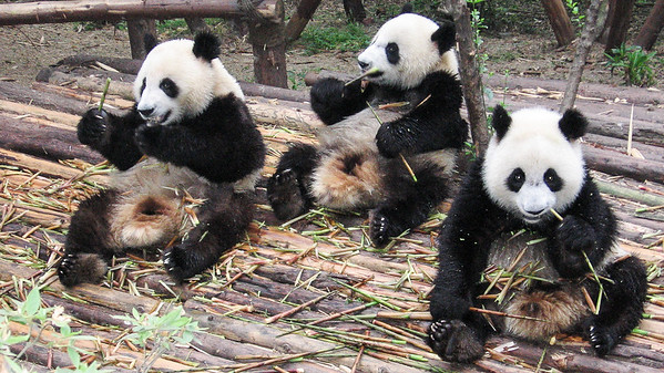 A group of teenage pandas enjoy their breakfast of bamboo at the Cheng Du Research Base of Giant Pandas in Chengdu, China.