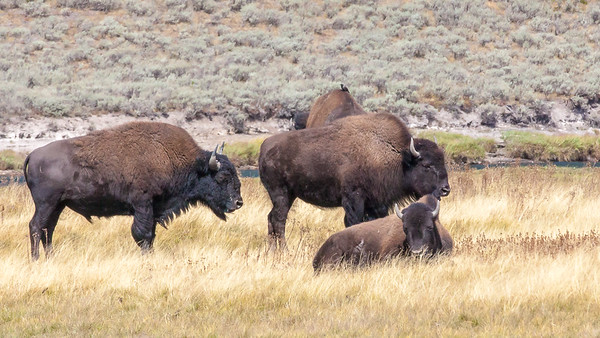 Bison  in the Hayden Valley, Yellowstone National Park, Wyoming.