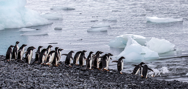 """The Adelie's were fun to watch as they would roam in packs up and down the shore looking for the """"perfect"""" spot to dive in.  Suddenly a decision would be made and in mass they would dive in.  Safety in numbers for danger lurks below where leopard seals prey on the defenseless penguins as they enter the water."""