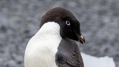 An Adelie Penguin.  There was a rookery with approximately 20,000 of them on Brown Bluff.