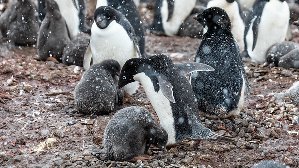 An Adelie penguin returning from the sea with a belly full of krill to feed to it's chicks.