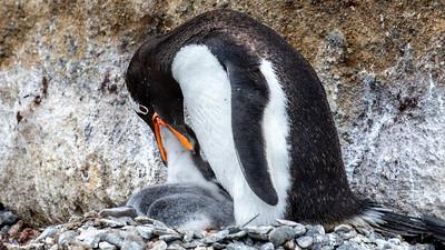 A Gentoo penguin feeding it's chick.