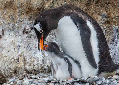 Hungry gentoo penguin chicks looking for more food.