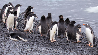 A lone Gentoo penguin hanging out with a bunch of Adelie penguins.