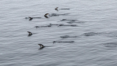 """A """"raft"""" of Adelie penguins headed out to sea.  They use porpoising when they swim  to help them avoid predators."""
