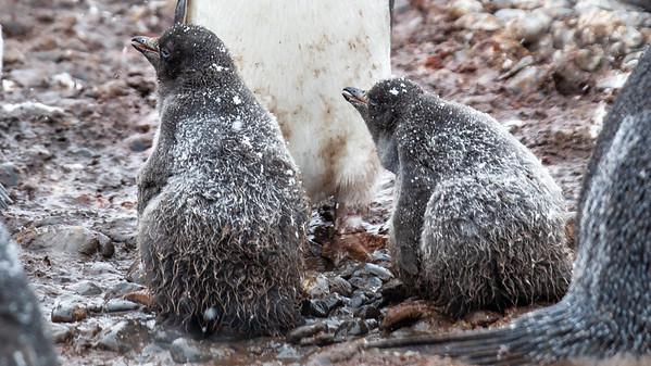 Adelie penguin chicks.