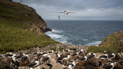 Black Browed Albatross takes flight