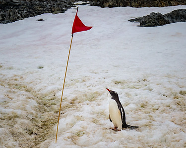 To minimize human impact, trails were marked by these flags.  I suppose this Gentoo was trying to determined if it was related or not.