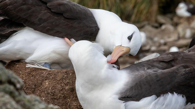 A pair of Black Browed Albatross preening