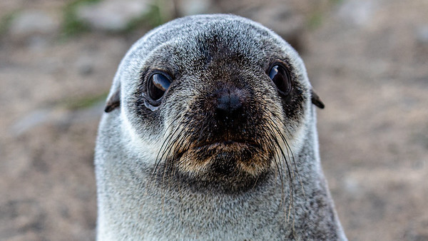 Young fur seal, Fortuna Bay