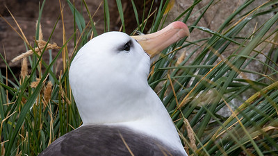 Black Browed Albatross