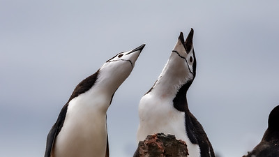Obviously this chinstrap penguin was enjoying the serenade.