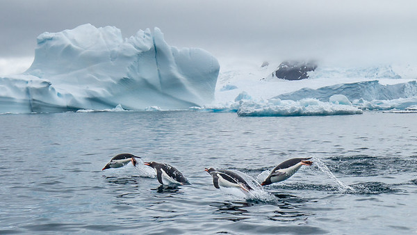 It was a common sight to see the Gentoo penguins porpoising their way out to look for krill to feed on.