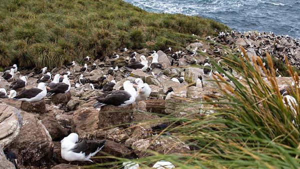 Black Browed Albatross colony, West Point Island