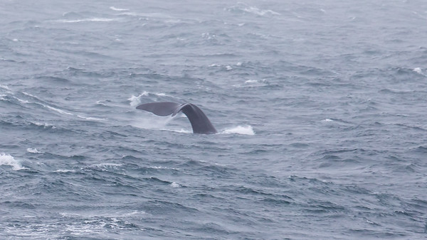 A humpback whale displaying it's fluke as it dives deep.