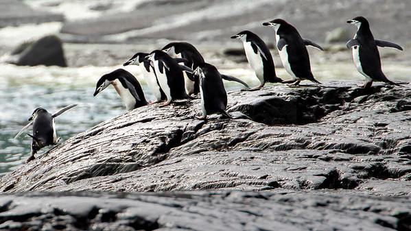 A group of Chinstrap Penguins timing the surf for going in.  A group decision for it is an all or none move.  Safety in numbers for they never know if there will be a predator lurking below.