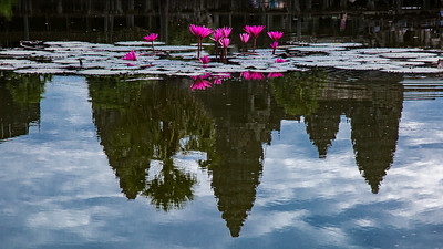 Red lotus flowers blooming in one of the reflecting ponds of Angkor Wat, Cambodia