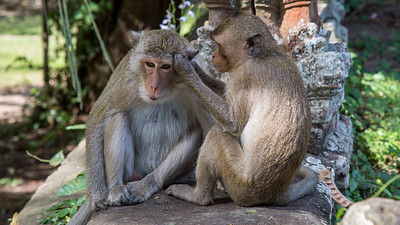 There are plenty of monkeys in the jungles surrounding Angkor Wat and Angkor Thom.  Here a couple of macaques grooming on the Bayon wall.