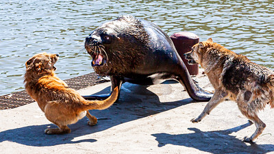 The local dogs and the sea lion battle over turf where the fish market discards it's daily scraps in San Antonio.  Meanwhile the pelicans wait nearby to grab the spoils while the battle rages on.
