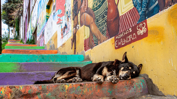 A dog rests upon one of the many stairways in the colorfully painted town of Valparaiso, Chile.