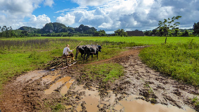 Time moves slowly in Valle de Viñales.  A farmer using oxen and a skid cart to bring home firewood.