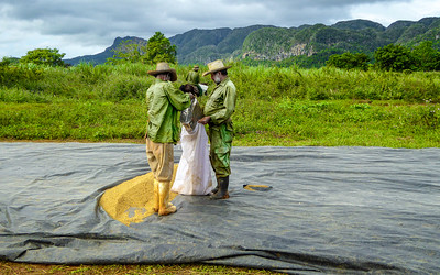 Valle de Viñales farmers bagging their wheat harvest after it has been sun dried on a plastic tarp.
