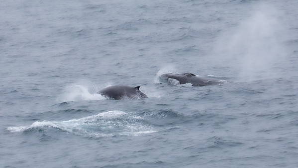 In what was becoming a daily parade of whales, a pair of humpbacks paced us for a while before veering off.