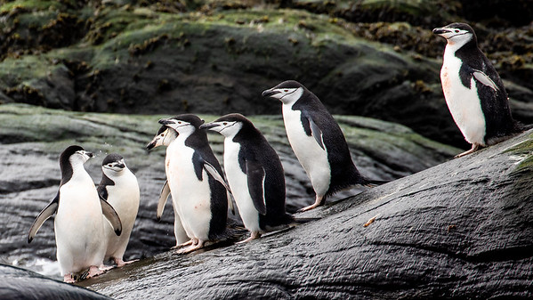 Chinstrap penguins at Cape Lookout