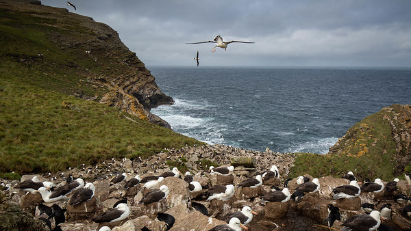Black Browed Albatross takes flight