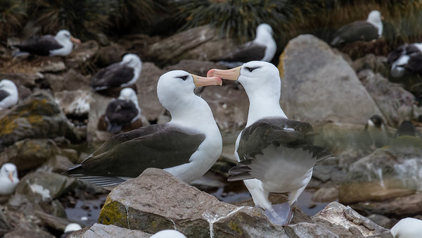 Black Browed Albatross touching beaks to reacquaint themselves after a long separation.