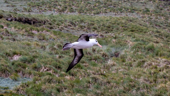 Black browed albatross in flight
