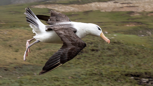 A Black-Browed Albatross coming in for a landing.
