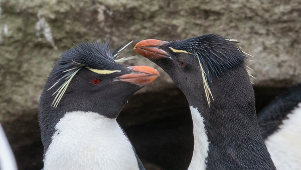 A pair of Rock Hopper penguins
