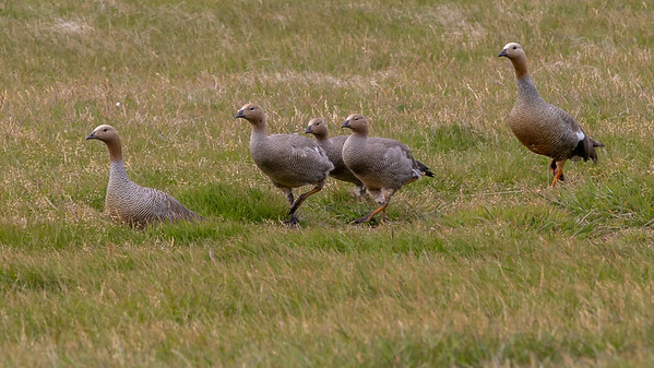 A gaggle of Upland geese makes their way across the meadow on West Point Island of the Falklands.