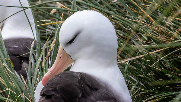 A Black Browed Albatross preens, West Point Island