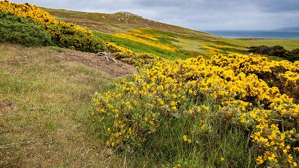 Gorse growing on West Point Island in the Falklands