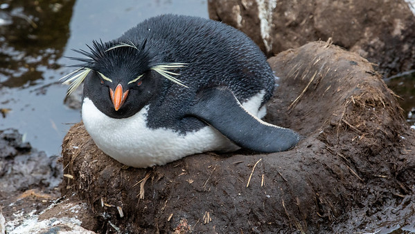 A nesting Rock Hopper penguin